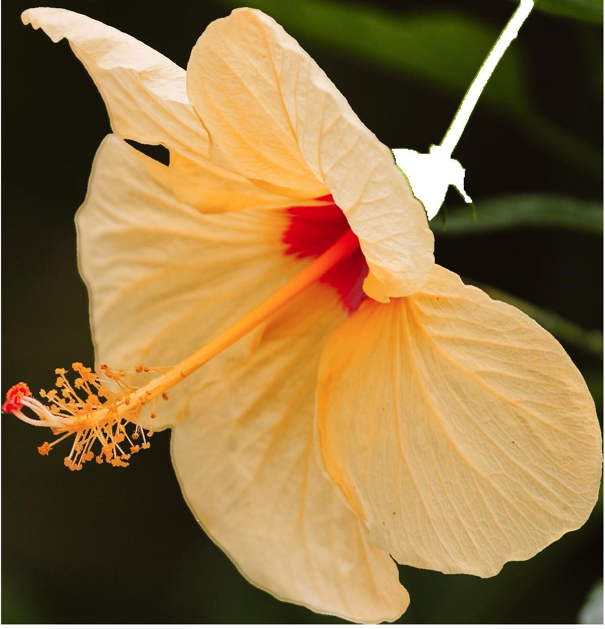 fleurs-d-hibiscus-oleosine